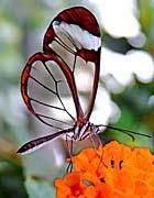 Brandie Newmon Glasswing Butterfly
