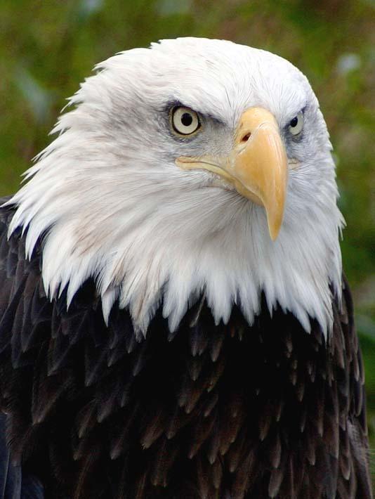 Brandie Newmon American Bald Eagle stretched canvas art print