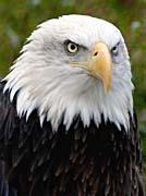 Brandie Newmon American Bald Eagle