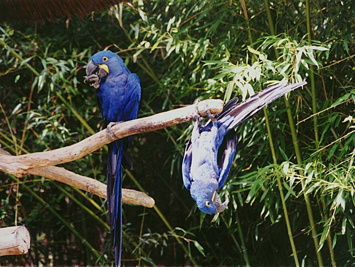 Brandie Newmon Blue Parrots Hanging Around stretched canvas art print