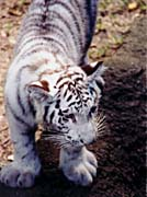 Brandie Newmon White Tiger Cub Exploring canvas prints