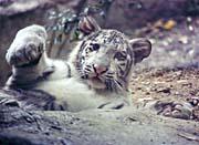 Brandie Newmon White Tiger Cub Playing