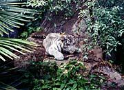 Brandie Newmon White Tiger Cub Ready to Pounce
