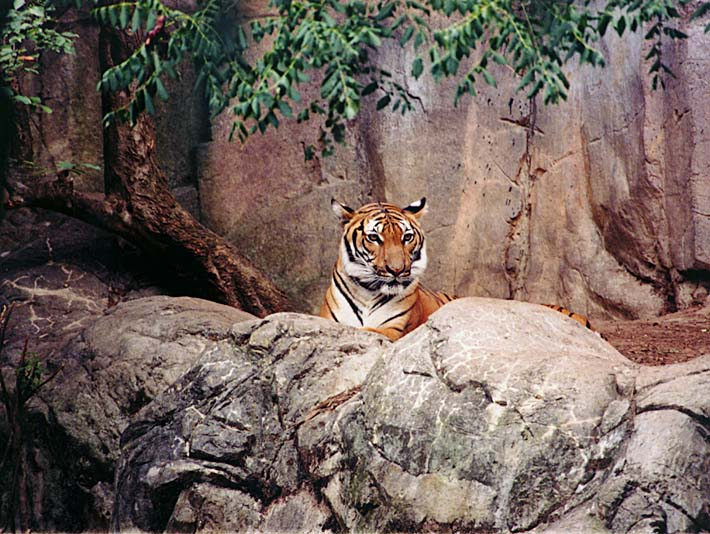 Brandie Newmon Tiger stretched canvas art print