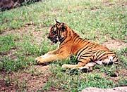 Brandie Newmon Tiger on a Summer Afternoon