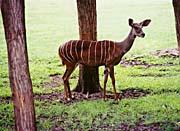Brandie Newmon Lesser Kudu