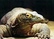 Brandie Newmon Komodo Dragon