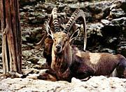 Brandie Newmon Ibex   Wild Goats canvas prints