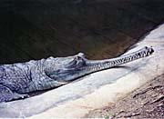 Brandie Newmon Gharial Crocodile