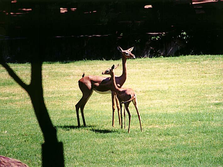 Brandie Newmon Gerenuk Antelopes stretched canvas art print