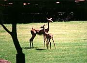 Brandie Newmon Gerenuk Antelopes