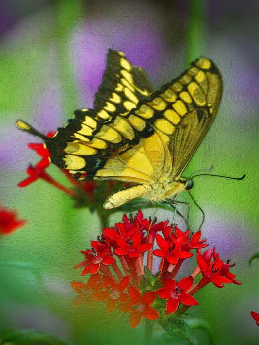 Brandie Newmon Yellow and Black Butterfly stretched canvas art print