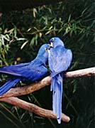 Brandie Newmon Blue Parrots - Love Birds