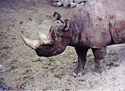 Brandie Newmon Asian Rhinoceros