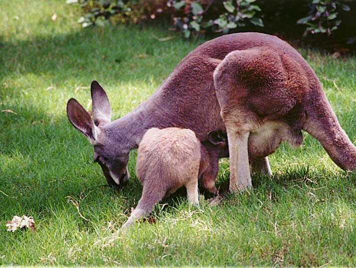 Brandie Newmon Wallaby Mother and Baby stretched canvas art print