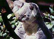 Brandie Newmon Koala Smiling