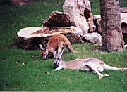 Brandie Newmon Kangaroo with Baby