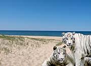 Brandie Newmon White Tigers At The Beach canvas prints