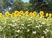 Brandie Newmon Sunflowers in a Field