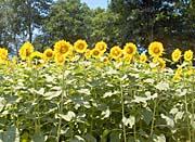 Brandie Newmon Sunflowers in a Field