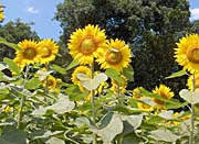 Brandie Newmon Sunflowers Close-Up