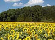 Brandie Newmon Shy Sunflowers