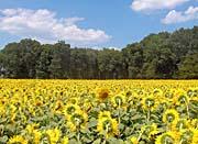 Brandie Newmon Different Drummer Sunflower