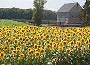 Brandie Newmon Sunflower Farm