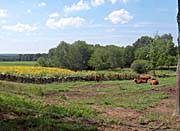 Brandie Newmon Cows and Sunflowers