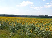Brandie Newmon Farm with Sunflowers