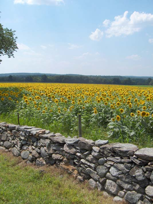 Brandie Newmon New England Sunflowers stretched canvas art print