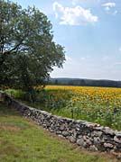 Brandie Newmon Connecticut Sunflower Farm