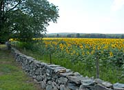 Brandie Newmon New England Sunflower Farm