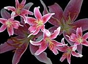 Brandie Newmon Oriental Lilies