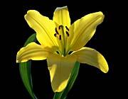 Brandie Newmon Asiatic Lily canvas prints