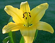 Brandie Newmon Yellow Lily canvas prints