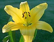 Brandie Newmon Yellow Lily