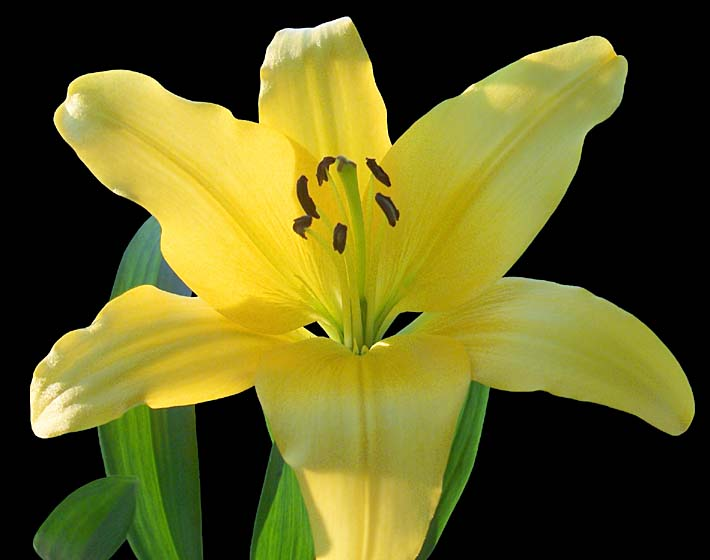 Brandie Newmon Yellow Lily Flower stretched canvas art print