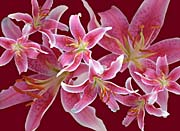 Brandie Newmon Stargazer Lily Flowers
