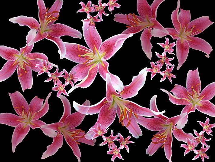 Brandie Newmon Lily stretched canvas art print
