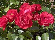 Brandie Newmon Blooming Red Roses