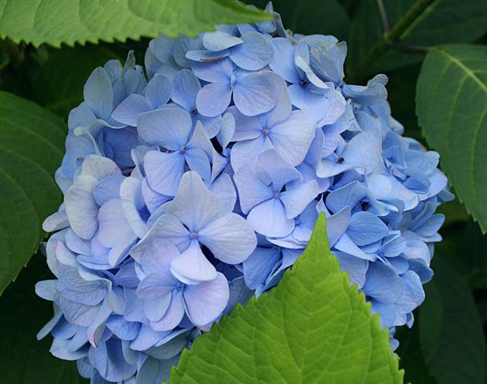 Kim O'Leary Photography Blue Hydrangea stretched canvas art print