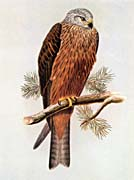 John Gould Black Kite