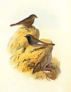 John Gould Black Redstart