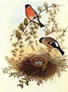 John Gould Bullfinch
