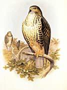 John Gould Common Buzzard