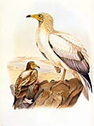 John Gould Egyptian Vulture