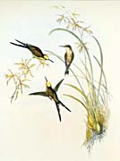 John Gould Fork Tailed Emerald