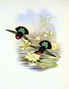 John Gould Garnet Throated Humming Bird