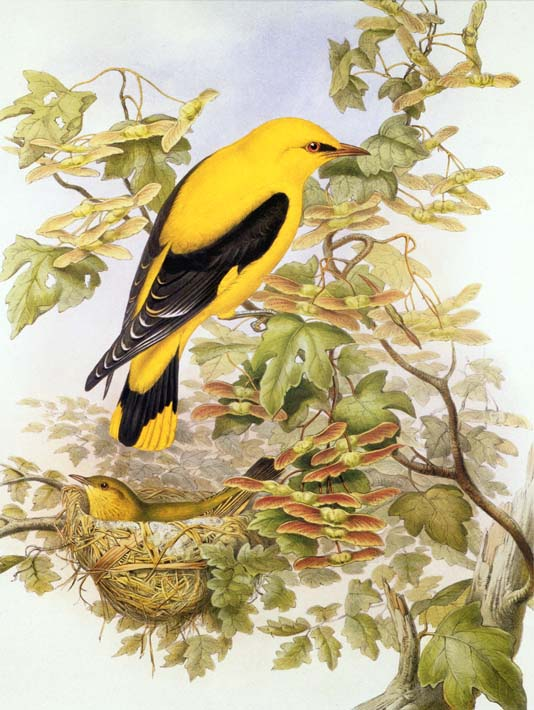 John Gould Golden Oriole stretched canvas art print